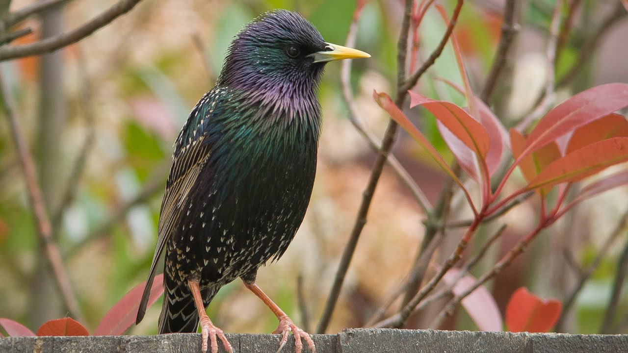 A starling sits on a fence, with some orange and green leaves in the background.