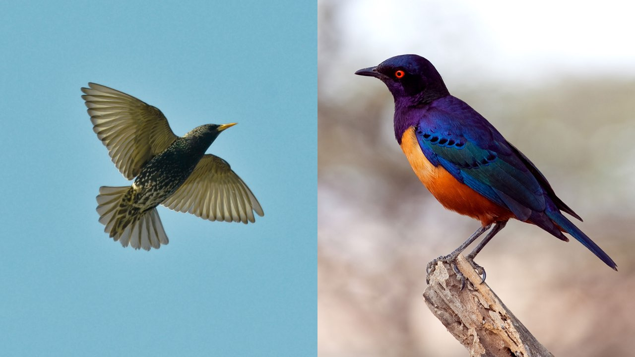 Two photos of starlings. On the left, a speckled starling in flight, its wings spread wide open. On the right, an orange-and-blue starling perches on a branch, its feathers reflecting the setting sun.